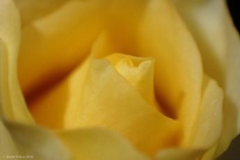 Olympus TG-4_Trandafir pitic
